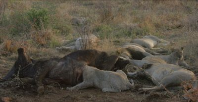 lion pride on cape buffalo carcass