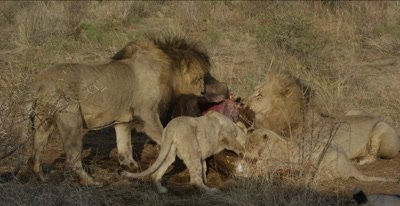 lion pride feeds on cape buffalo carcass