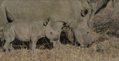 rhino mom and baby