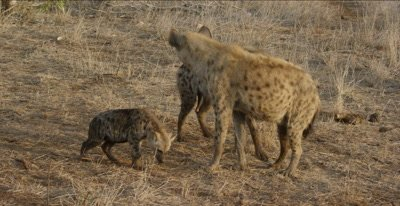 spotted hyaena adults and cubs