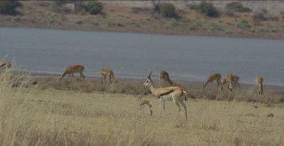 female springbok with newborn calf