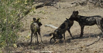 wild dogs and pups