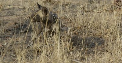 African wild dog pups sniffing around