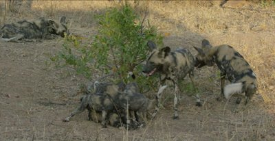 African wild dogs and pups