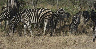 zebra and colt