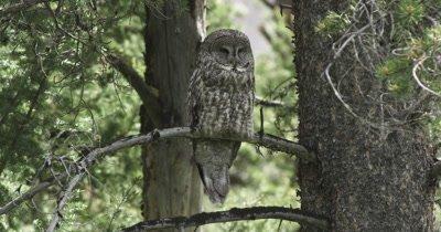 great gray owl female