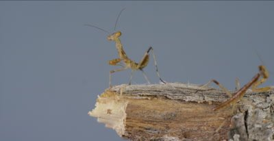 praying mantis babies less than a day old with egg case