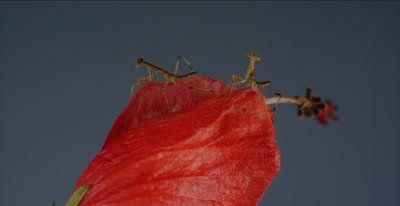 praying mantis babies less than a day old on Turk's cap flower