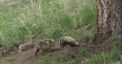 vixen and badger fighting