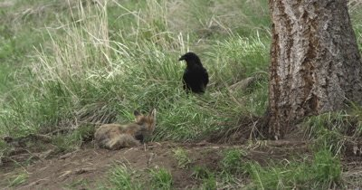 vred fox vixen protecting kits from raven