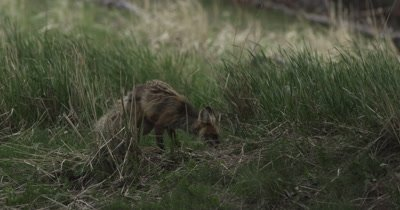 vixen at new den trying to get badger out