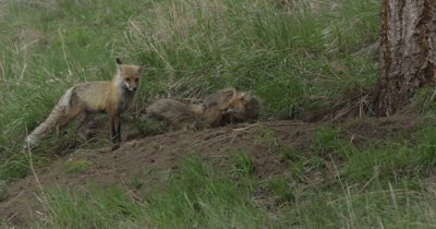 badger in red fox den and vixen wants it out