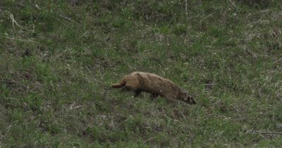 badger sneaking from old fox den to new one