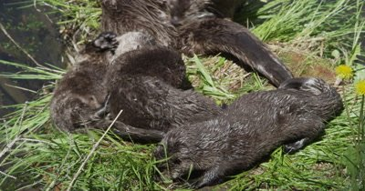river otter mom and kits playing on grassy log