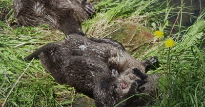 river otter mom and kits playing on log