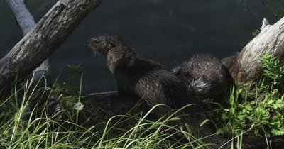 otter mom and kits playing on log and in water