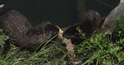 otter babies eating cutthroat trout
