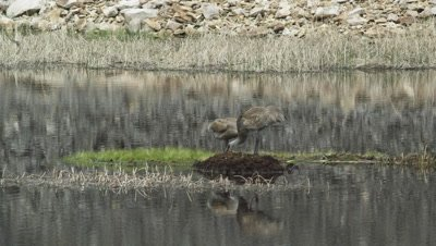 male and female sandhill cranes at nest