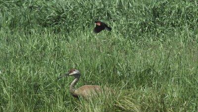 sandhill crane parents and 2 colts