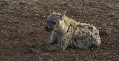 spotted hyena adult