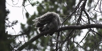 fledgling great gray owl
