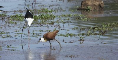 1 black-winged stilt, 1 African jacana and 2 Egyptian geese hunting and eating