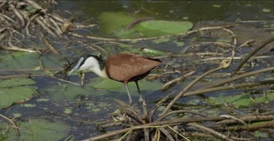 African jacana hunting and eating