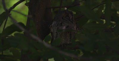 African scops owl sleeping