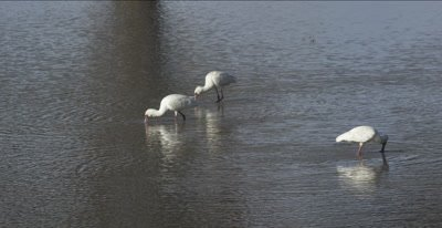African spoonbills hunting in water hole
