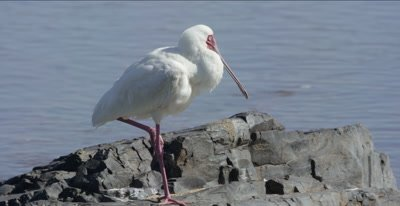 African spoonbill Resting beside the Oliphants River