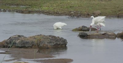 2 African spoonbills and a little egret  hunting in the Oliphants River