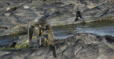 chacma baboons 1 picking fleas off another, wide