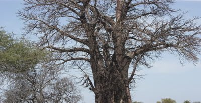 baobab tree semi-close