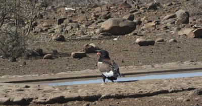 bateleur eagle watching then getting a drink