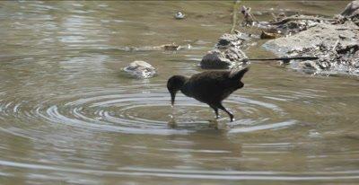 black crake juvenile hunting
