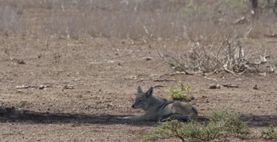 black-backed jackal resting