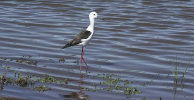black-winged stilt walking, hunting