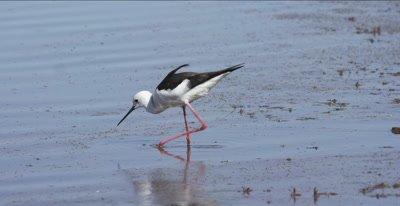 black-winged stilt hunting, eating