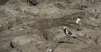 blacksmith plover preening