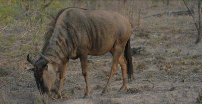 blue wildebeest walking and grazing
