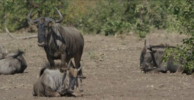 male and female blue wildebeest standing, sitting