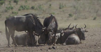 wildebeest 2 rubbing each other, then zebra come in with mama leaning on foal