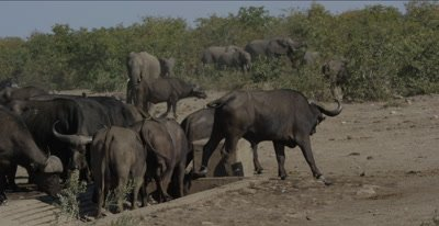 pan of a bonybuffalo herd at waterhole with very little water, also zebra and elephants