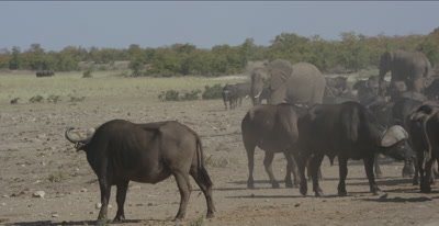 pan of a bony buffalo herd at waterhole with very little water, also zebra and elephants