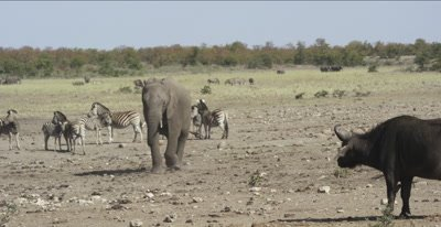 stand off between elephant and cape buffalo
