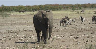 elephant comes to waterhole with cape buffalo already there