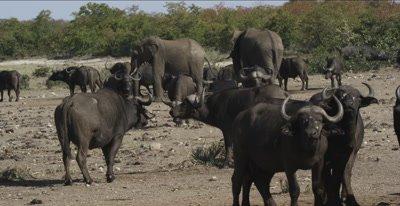 cape buffalo and elephants standing around