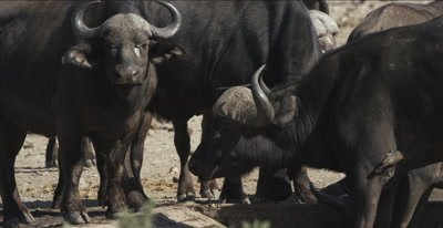 cape buffalo at waterhole with very little water, close up
