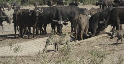 cape buffalo and wart hogs at waterhole with very little water