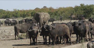 elephants come to waterhole and make cape buffalo scatter